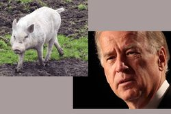 Pigs-and-joe-biden